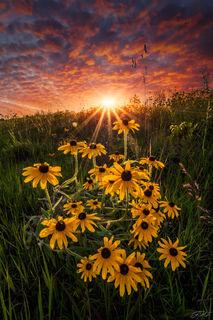 Black Eyed Susan, Clouds, Flowers, Landscape, Sunset, Sunstar, Wildflowers, Nature, Beauty