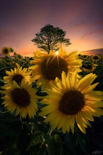 Flowers, Sunflowers, Sunset, Sunstar, Tree, Wildflowers