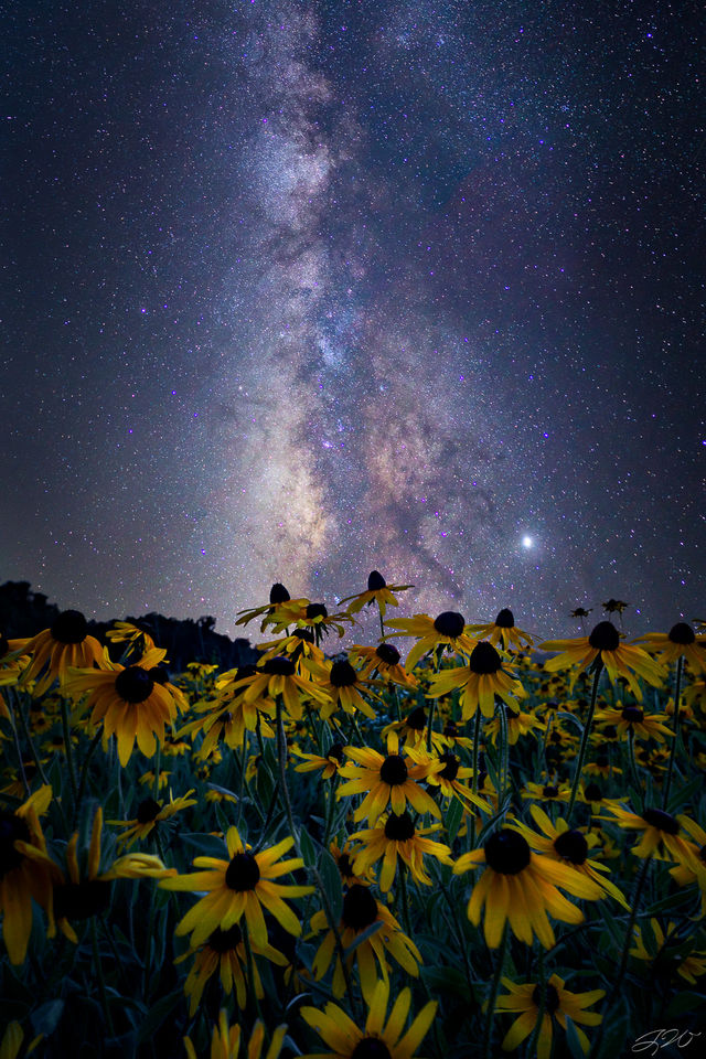 Astrophotography, Black Eyed Susan, Flowers, Milky Way, Night Sky, Nightscape, Stars, Wildflowers