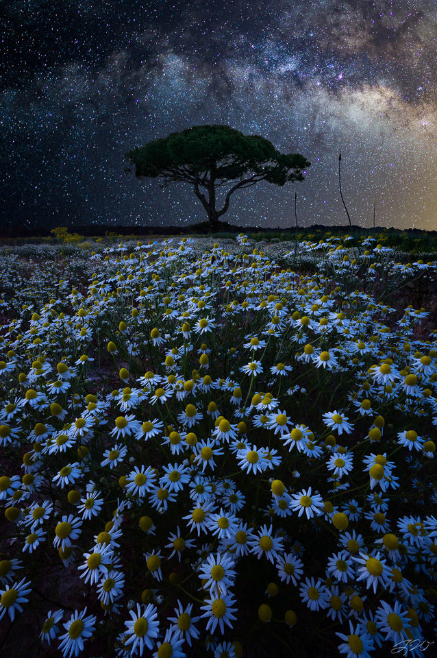 lone tree, daisies, milky way, night sky, wildflowers, astrophotography, sacred, sony alpha