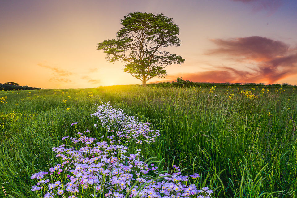 asters, daisies, fleabane, flowers, wildflowers, lone tree, sunset, field