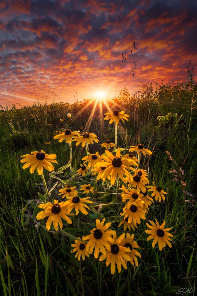 Black Eyed Susan, Clouds, Flowers, Landscape, Sunset, Sunstar, Wildflowers, Nature, Beauty