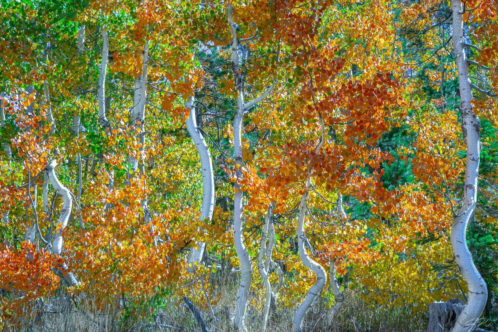 Abstract, Aspen Tree, California, Curvy Trunk, Fall Color, Lake Tahoe, Landscape, Leaves, Quaking, Tahoe Rim Trail, photo