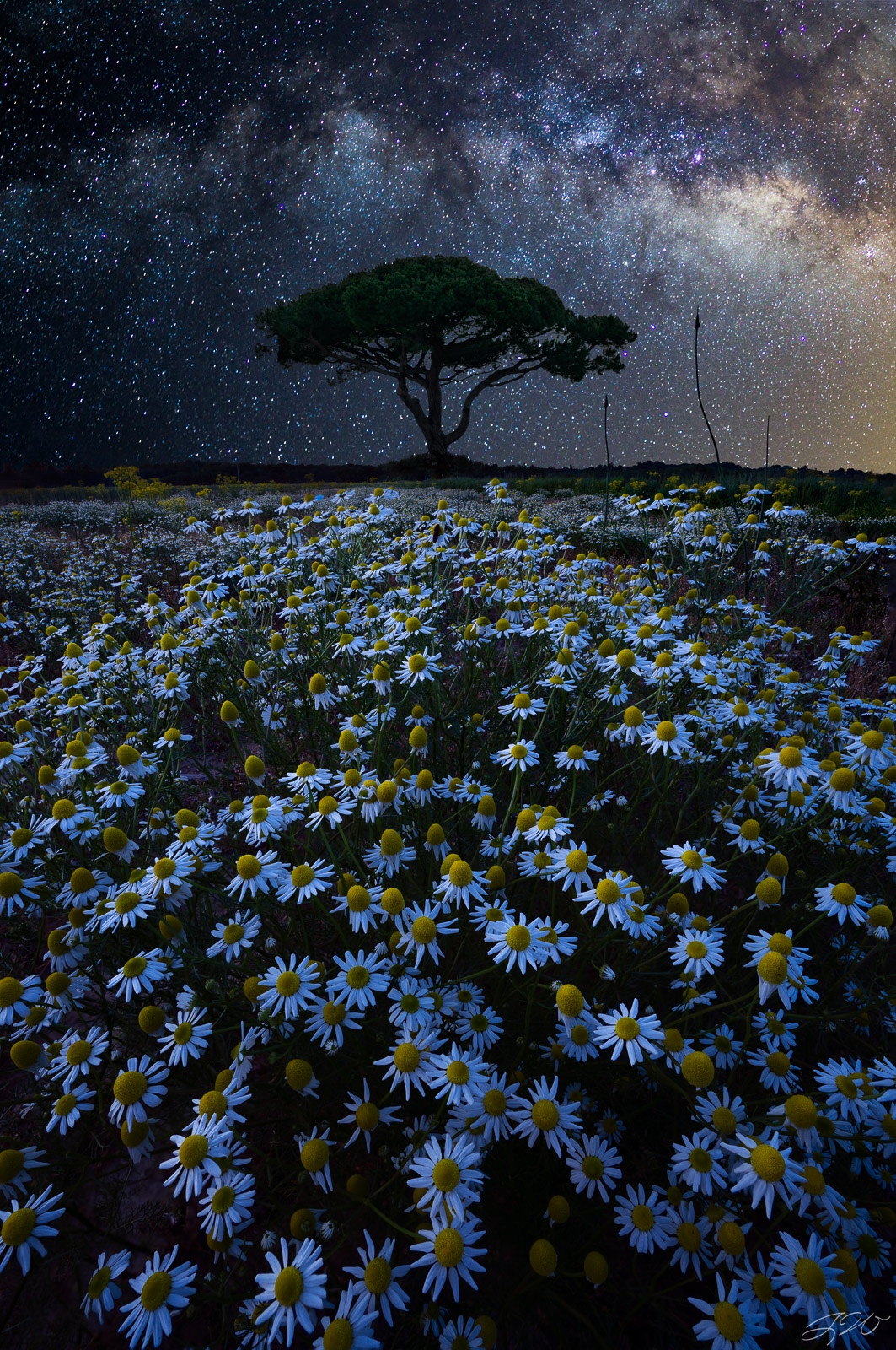 lone tree, daisies, milky way, night sky, wildflowers, astrophotography, sacred, sony alpha, photo