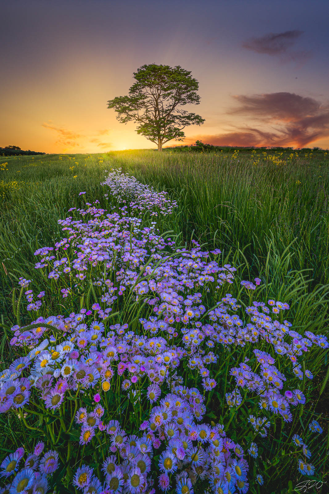lone, tree, sunset, flowers, wildflowers, asters, daisies, fleabane, photo