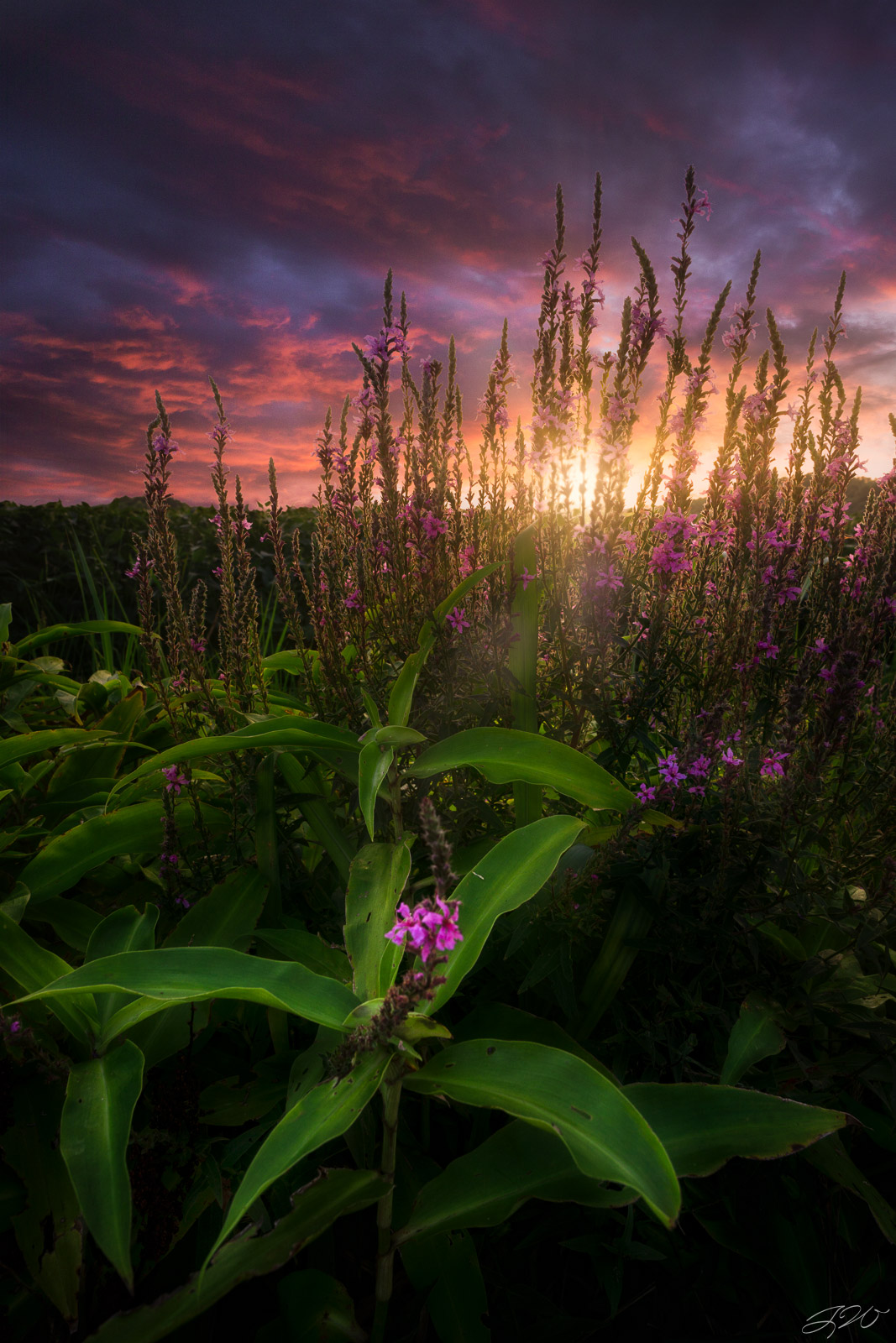Fine Art Limited Edition of 100. The sun sets behind a patch of purple wildflowers during an incredible mid summer sunset. Flowers...