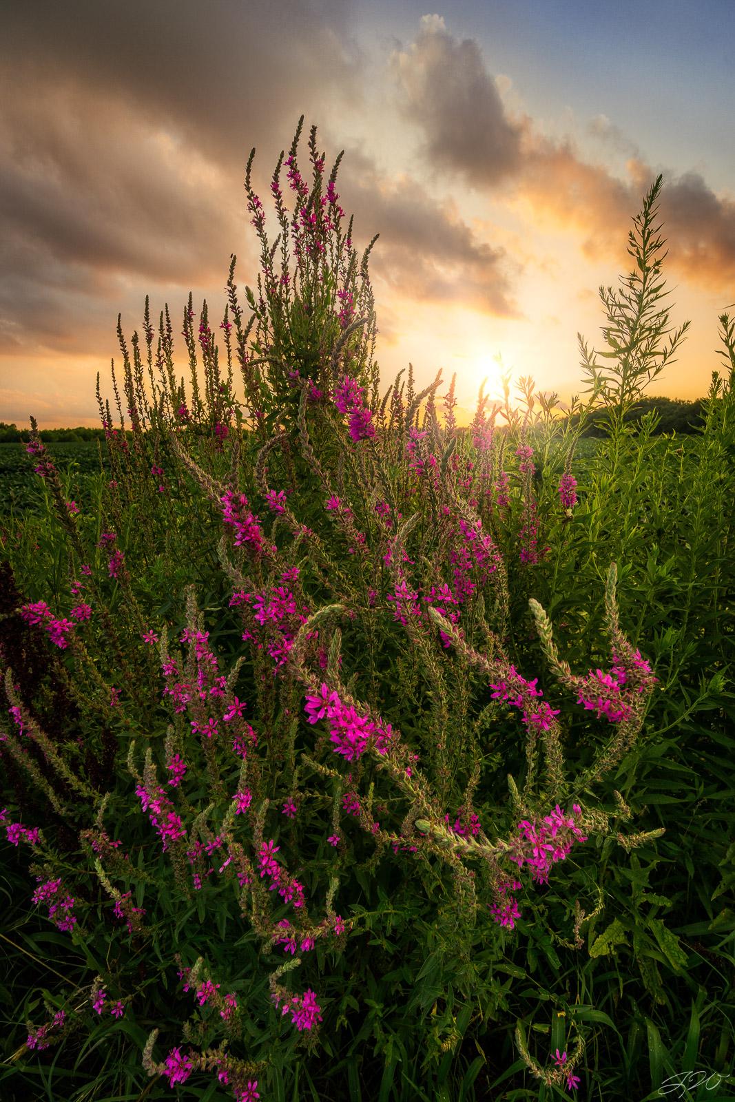 purple loosestrife, sunset, flowers, wildflowers, bloom, summer, photo
