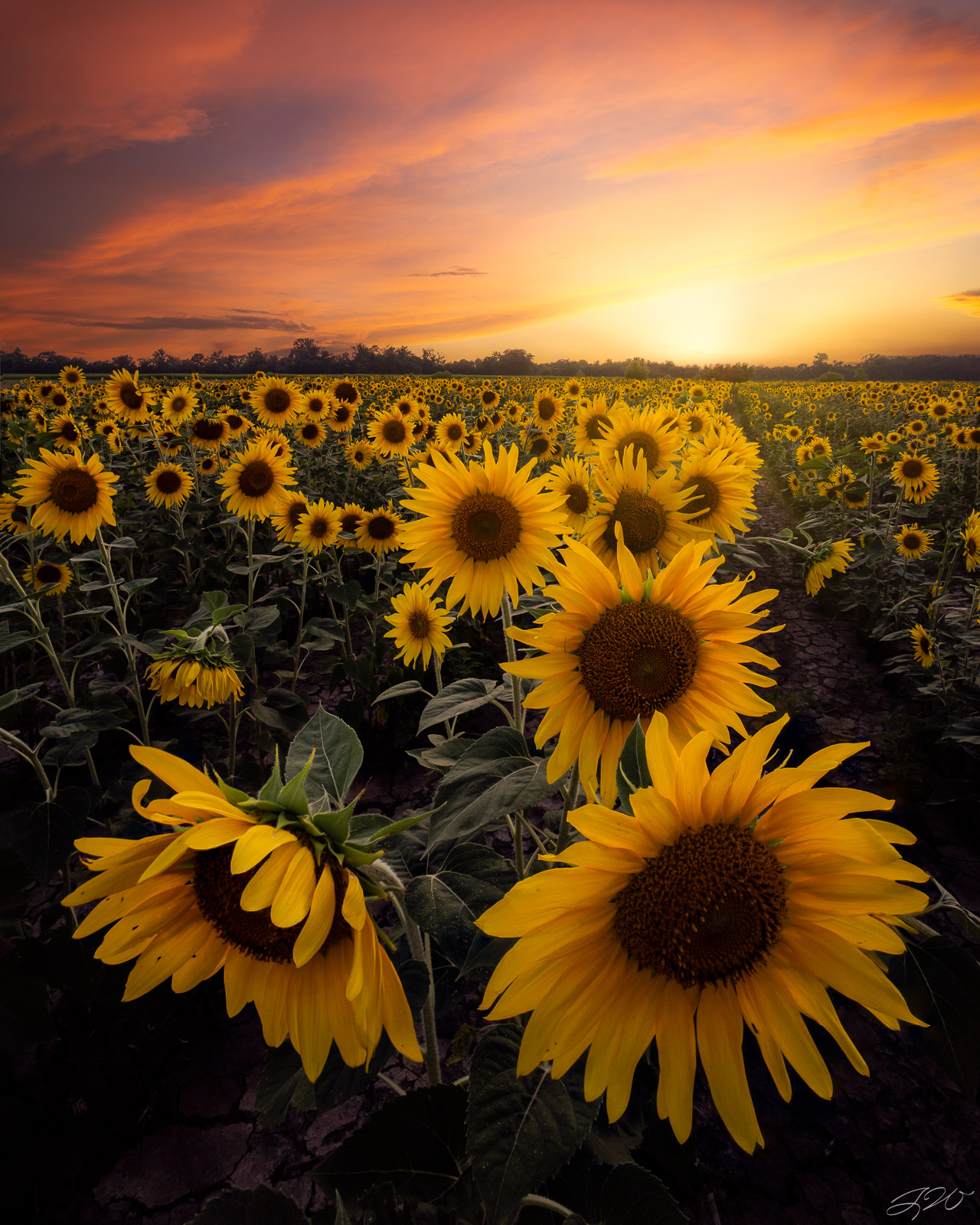 Fine Art Limited Edition of 100. A sunflower field is like a sky with a thousand suns. I found myself in this massive field of...