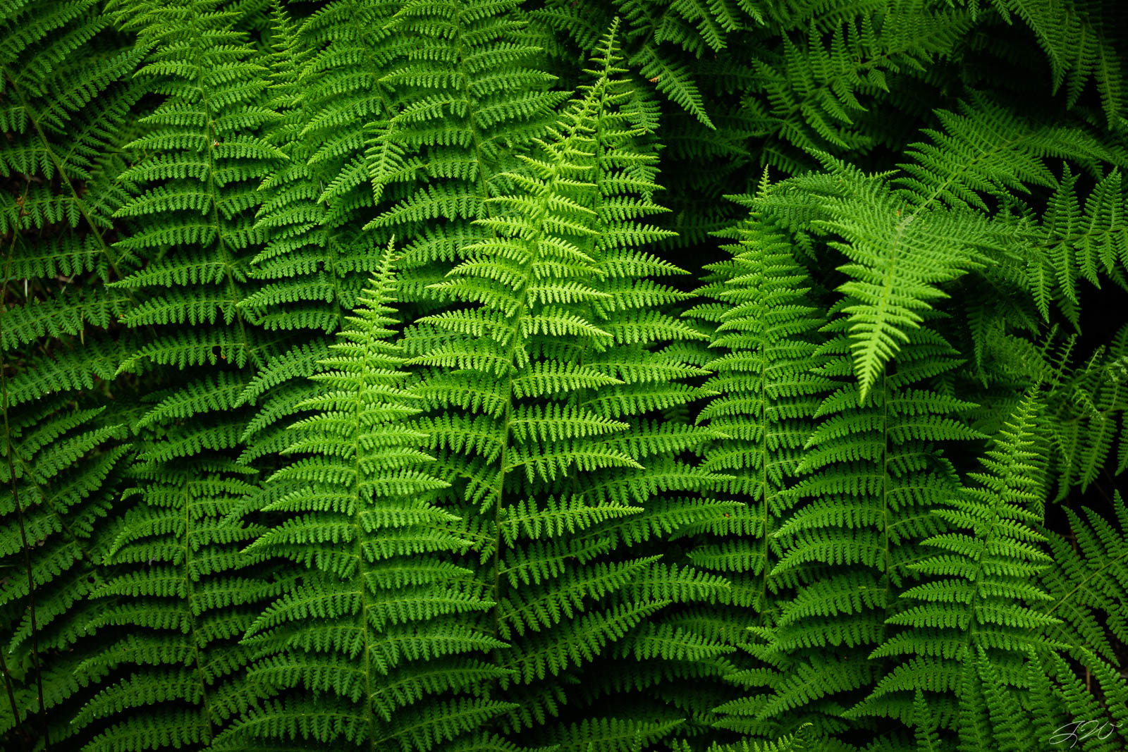 Fine Art Limited Edition of 100. An intimate view of lush ferns on the forest floor. Due to the dense shade in this specific...